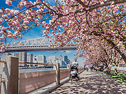 Cherry blossoms with the view of Roosevelt Island Tramway and The Ed Koch Queensborough Bridge are in Roosevelt Island, New York City.