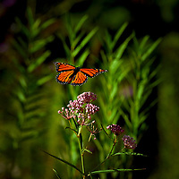 Butterflies on the Cave Trail at Top of the Rock near Big Cedar Lodge in Ridgedale, Missouri