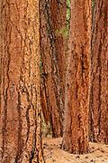 Ponderosa Pine Group, Coconino National Forest, Coconino County, Arizona