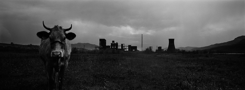 A cow stands alone, tethered in a field on the outskirts of the small Romanian town of Copsa Mica with the Carbosin factory skeleton in the background in Copsa Mica, Transylvania, Romania. Copsa Mica was once described as the most polluted town in Europe. The factory closed down in 1993. May 08, 2008 Photo Tim Clayton..Copsa Mica, a small industrial town deep in Transylvania, Romania, was described during the 1990s as the most polluted town in Europe with lead levels reaching were more than 1000 times the allowable International limits and life expectancy nine years shorter than the National average...The pollution was caused entirely by two factories, Carbosin produced black for dies and tires and closed in 1993 while Sometra, a nonferrous smelter is still operational today...The pollution was so bad sheep were black, covered in soot and health officials advised against eating livestock or vegetables and drinking the water or milk...The Communist rule of Nicolae Ceausescu is blamed for the widespread environmental degradation that left industrial parts of Romania in ecological disaster. Industry was situated in a way to concentrate pollution in small areas leaving the rest of the country relatively free of pollution.Copsa Mica in particular was left an environmental disaster...The pollution caused a direct affect on human health with widespread Lung disease, Impotency, the highest infant mortality rate in Europe, Lead poisoning andbehavioral problems...Fifteen years on since the closure of Carbosin in 1993, the factory skeleton remains as part of the towns bleak landscape, Unfinished communist style housing blocks still stand in the heart of the towns housing estate. The town's inhabitants arestill trying to recover from the long lasting effects of pollution...Recent survey's found the soil contained so much lead that it was 92 times above the permitted level; the vegetation had a lead content 22 times above the permitted level. While toxins have penetrate