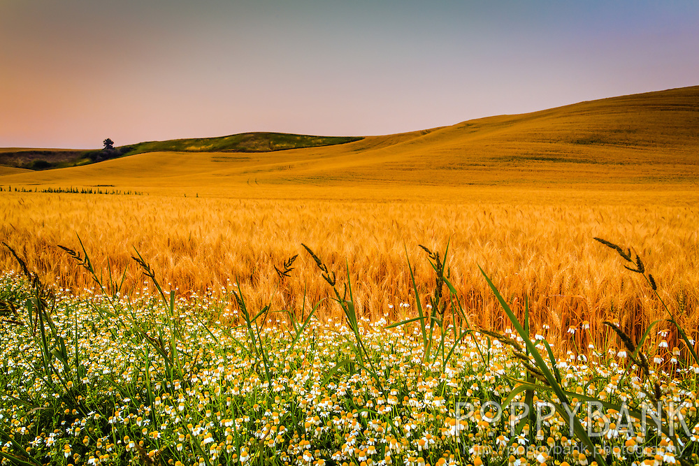 The sun rises over the Palouse region of Washington State and its rolling hills of grain.