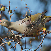 African green pigeon eating the fruit of a Jackalberry tree. Sabi Sands Game Reserve, South Africa