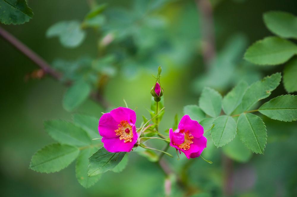 A flowering wild rose (Rosa sp.) shrub along Monument Creek Trail, Okanogan National Forest, Washington.