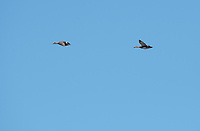 Two Gadwalls, Anas strepera, fly over Tule Lake National Wildlife Refuge, Oregon