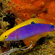 Yellowcheek Wrasse constantly swim about reefs usually deeper than 60 ft. in Tropical West Atlantic; picture taken St. Vincent.