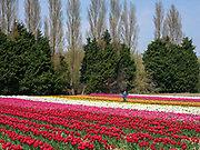 Some of 250,000 tulips in full bloom in a Lincolnshire flower field farmed by Multiflora Flowers on 9th April 2020 in Holbeach, Lincolnshire, United Kingdom. It is said that 'If you see a colourful field of flowers, the crop has failed.' Because of the UK lockdown due to the Covid-19 pandemic wholesalers have closed their doors and supermarkets who are their main customer cancelled their orders leaving the growers with nowhere to sell their flowers. In subsequent days the grower will remove the waste tulip heads in order for the bulbs to retain energy to grow for next year. The Bulgarian workforce arrived in the UK one week before the current travel restrictions and are in lockdown at the farm and are currently cropping for a limited number of orders for any remaining tulips from supermarkets have started to trickle in.