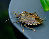 Stink Bug. Image taken with a Fuji X-H1 camera and 80 mm f/2.8 macro lens (ISO 1600, 80 mm, f/18, 1/125 sec).