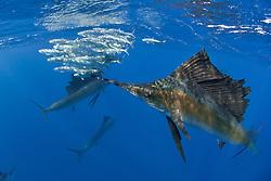 Atlantic sailfish, Istiophorus albicans or platypterus, uses its spear-like bill to stun its prey, Spanish sardines, Sardinella aurita. Isla Mujeres, Yucatan Peninsula, Mexico, Caribbean Sea