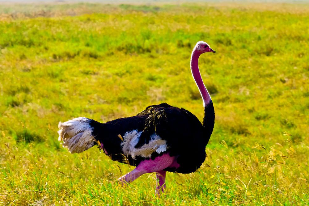A male ostrich, Ngorongoro Crater, Ngorongoro Conservation Area, Tanzania