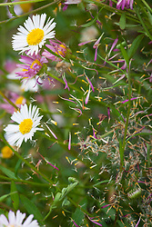 Seeds of Erigeron karvinskianus caught in a cobweb. Mexican daisy, Mexican fleabane