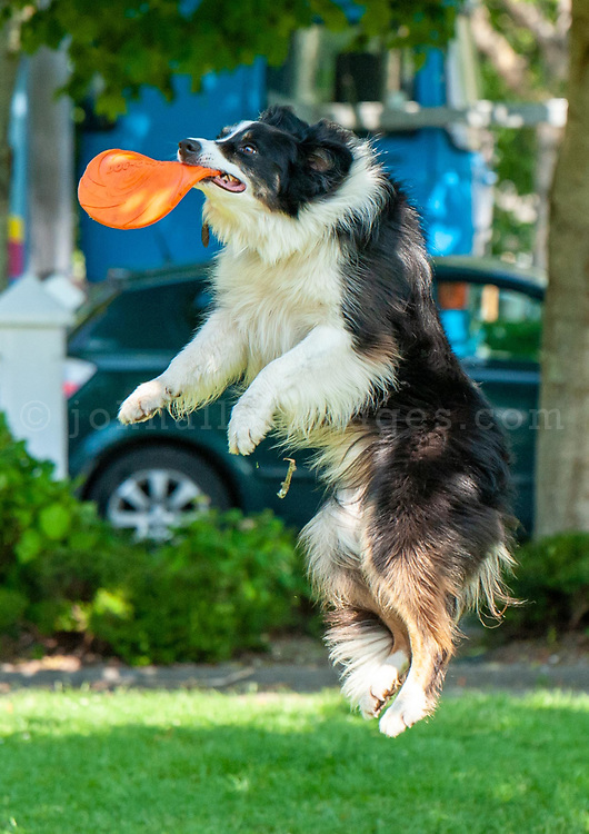 REPRO FREE<br /> Jody catches a frisbee thrown by owner Simon Prim at Kinsale town park in the sun Saturday.<br /> Picture. John Allen