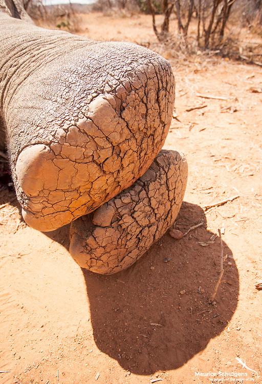 A young bull elephant with a hugely swollen left leg after suffering a gunshot wound.