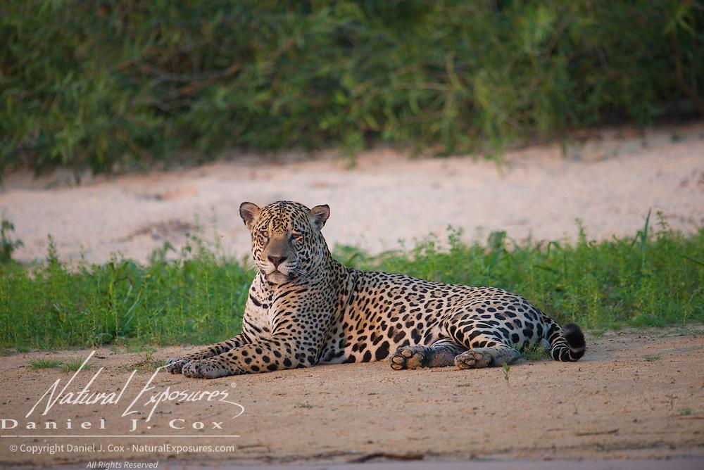 Jaguar, Patanal, Brazil