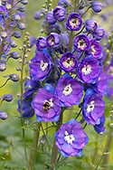 A bumble bee on Delphinium 'Orpheus' at Waterperry Gardens, Waterperry, Wheatley, Oxfordshire, UK