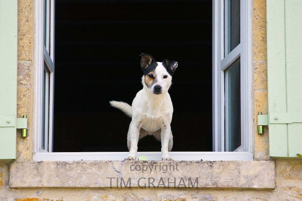 Jack Russell Terrier called Johnny Johnson guards his home in Normandy, France