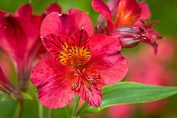 Alstroemeria 'Tessa' - Peruvian lily