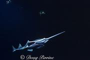 smalltooth sawfish, Pristis pectinata, Florida