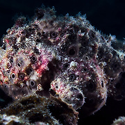 This is a female painted frogfish (Antennarius pictus) heavily laden with a bellyful of eggs. A smaller, pitch-black male was nearby. The pair were perfectly camouflaged against coral and sponges.