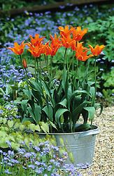 A galvanised container of Tulip 'Ballerina'.