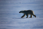 A polar bear (Ursus maritimus) walking on the ice ,Svalbard, Norway