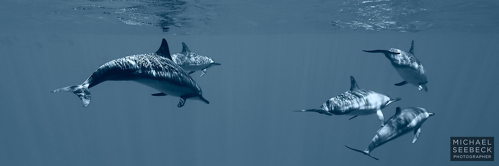 A panoramic photograph of spinner dolphins, taken in clear South Pacific Ocean waters, at Niue.<br /> <br /> Open Edition Print and stock image.<br /> <br /> Add to Cart to view options and pricing.