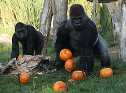 Kumbuka (right) the silverback gorilla holding pumpkins during a photo call ahead of Halloween, at London Zoo.
