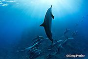 Hawaiian spinner dolphin or Gray's spinner dolphin or long-snouted spinner dolphins, Stenella longirostris longirostris, Kaupulehu, Kona Coast, Big Island, Hawaii ( Central Pacific Ocean )