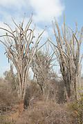 Spiny Forest Tree, Didierea trollii, Reniala Nature Reserve, Ifaty, Madagascar