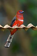 Red-headed Trogon, Harpactes erythrocephalus, Tongbiguan Nature Reserve, Dehong, Yunnan, China