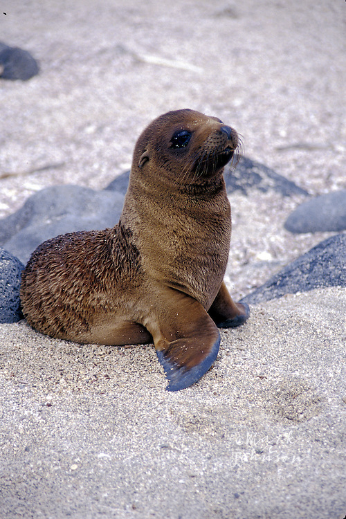 Ecuador, Galapagos Is., N. Seymour Is., Galapagos Sea Lion pup