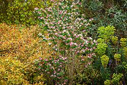 Lonicera tatarica 'Rosea' with Weigela coraeensis and euphorbia