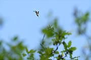 Male Stag Beetle (Lucanus cervus) flying around oak tree in search of a female.   Ein männlicher Hirschkäfer (Lucanus cervus) manövriert auf der Suche nach einem Weibchen um eine Eiche. Biosphärenreservat Niedersächsische Elbtalaue, Deutschland