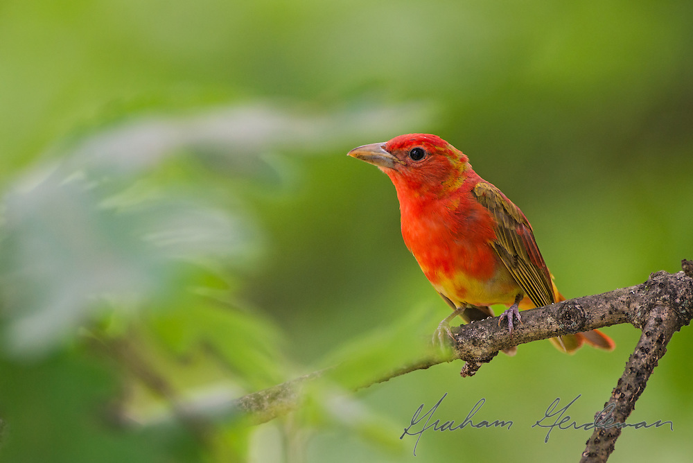 A first Spring Summer Tanager (Piranga Rubra) still in the process of molting to its solid red adult plumage. The adult male Summer Tanager is the only solid red bird native to North America.