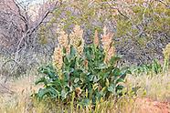 Polygonaceae (Buckwheat)