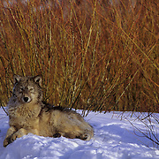 Gray Wolf (Canis lupus) adult resting near some willows in Montana. Captive Animal