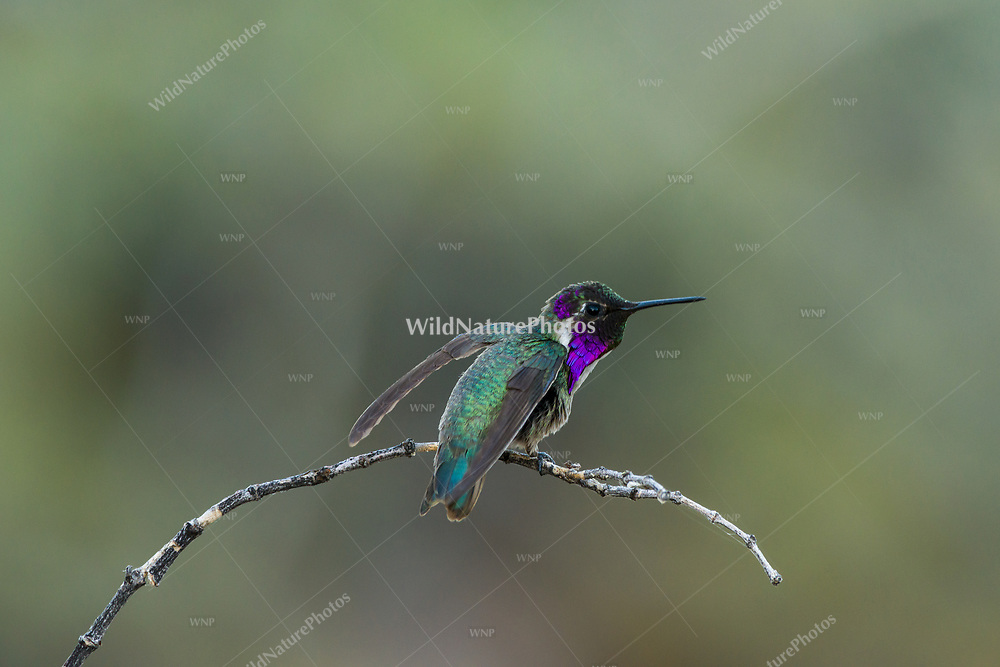 Male Costa's Hummingbird (Calypte costae) perched a branch, ready for flight. Tucson