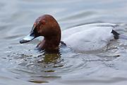 Duck drinking among Common Pochard, Aythya ferina, ducks at Welney Wetland Centre, Norfolk, UK