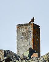 Redwing (Turdus iliacus). Akureyri, Iceland. Image taken with a Nikon Df camera and 300 mm f/2.8 VR lens.