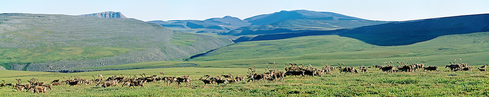 Caribou bulls during the migration across North Yukon
