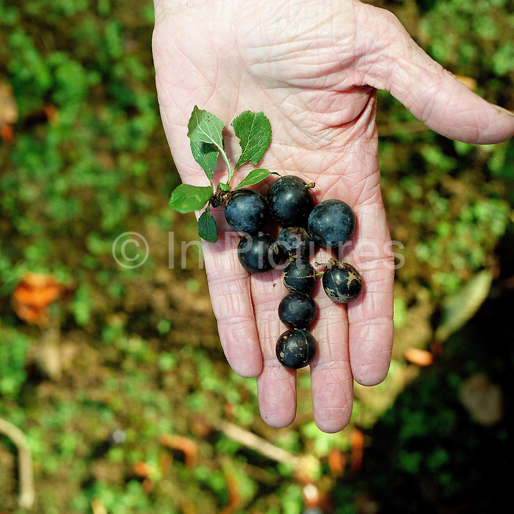 A hand of a conservation volunteer holding sloes gathered from the blackthorn hedgerows around the Castle Howard Estate in North Yorkshire, UK. They will be planted and grown on at the Estate's arboretum and eventually planted out to make more beech trees and hedges in the Howardian Hills. Castle Howard Estate is in the Howardian Hills AONB, a landscape with well-wooded rolling countryside, patchwork of arable and pasture fields, scenic villages and historic country houses with classic parkland landscapes.