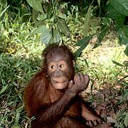 Orangutan, (Pongo pygmaeus) Young sitting on forest floor playing with stick. Northern Borneo.Malaysia.