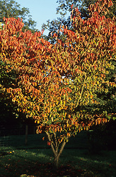 Prunus sargentii - Sargent cherry