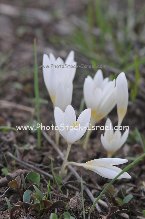 Crocus ochroleucus, commonly known as Winter Crocus, or just Crocus. Photographed in Israel, Golan Heights in November