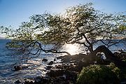 Kiawe Tree, Kaunaoa Beach, Mauna Kea Beach and Resort, Kohala Coast, Island of Hawaii