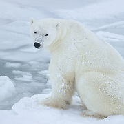 Polar Bear adult in Churchill, Manitoba, Canada.