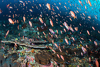 Hundreds of Threadfin Anthias feed on plankton in the current above a healthy reef.<br /> <br /> Shot in Indonesia