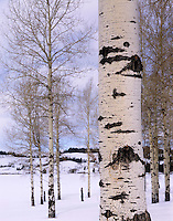 Aspens in winter Grand Teton National Park Wyoming USA beautiful