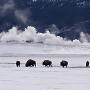 Bison graze in the meadow near Fountain Paint Pots. Yellowstone National Park, Wyoming.  Winter.