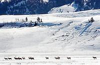 NEWS&GUIDE PHOTO / BRADLY J. BONER.A line of bull elk walk across the National Elk Refuge on Monday morning.  Supplemental elk feeding on the refuge began this week to prevent habitat damage from overgrazing.