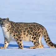 A snow leopard (Panthera uncia) in the high mountains of central Asia. Captive Animal